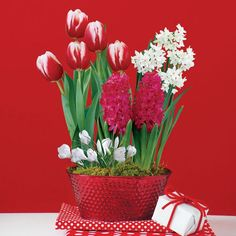 Crescendo® Hybrid Tea Rose. Peppermint CandyGarden GiftsHoliday ...