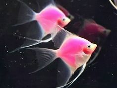 Fluorescent fish light up Taiwan aquarium