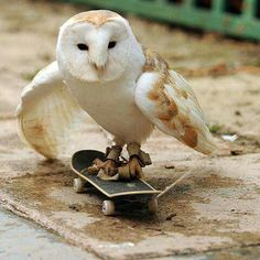 Talented Owl on Skateboard