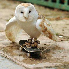 Talented Owl on Skateboard