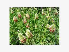 Inkarnatklee (Trifolium incarnatum)