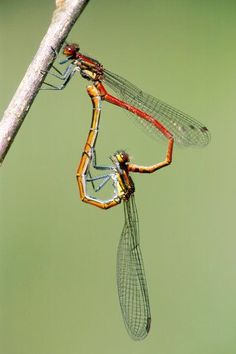 dragonflies mating (the lovewheel) Dragonfly Photos, Dragonfly Insect, Dragonfly Tattoo, Beautiful Bugs, Beautiful Butterflies, Amazing Nature, Cool Insects, Bugs And Insects, Macro Photography