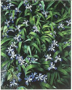 Crested Dwarf Iris, Great Smokey Mountains National Park, Tennessee  Eliot Porter - 1968. Dye transfer print.