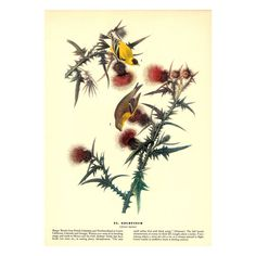 Goldfinch / Worm-Eating Warbler, Authentic Vintage Double Sided Print, John James Audubon 1941 Birds of America, 8.5 x 12 inches by BadPennysVintage on Etsy