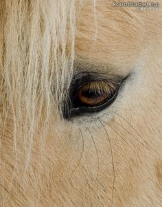 Hest (Equus caballus), Fjording Horse (Equus caballus), Fjording (Norwegian fjord horse)