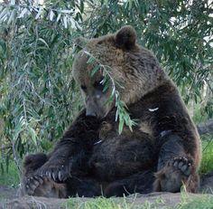 egy kis pihi Brown Bear, Hungary, Cool Stuff, Animals, Animales, Animaux, Animal, Animais