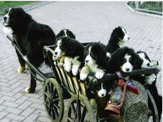 Old days - Puppies pulled in a wagon by adult dog.