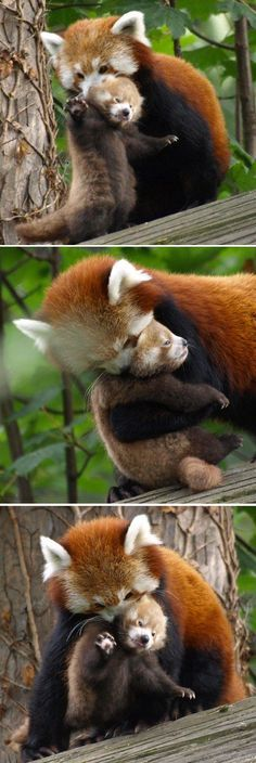 Red panda mom shows off her skills at the Chester Zoo.