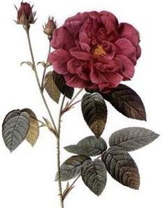 Apothecary's Rose (Rose of Provins)