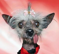 Chinese Crested dog..... i could love this little beauty.