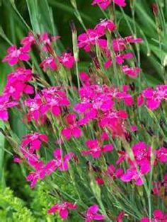 Zing Rose Dianthus Perennial Starter Plant
