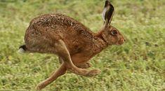 Hare - longer legs than a rabbit! Wild Rabbit, Jack Rabbit, Disney Memes, Cute Baby Bunnies, Bunny, Hare Today Gone Tomorrow, Animals And Pets, Cute Animals, Rabbit Sculpture