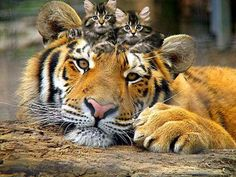 Tiger-and-cute-kittens-1 by ganz13676