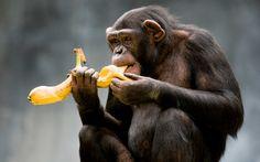 Pro uzdravování pomocí SCD a všeobecně pro zdraví je velmi důležité v jaké fázi zrání banány konzumujeme. Věděli jste, že banány, kromě spousty prospěšných látek, minerálů a vitamínů, obsahují látku zvanou etylen?
