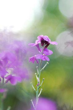 purple flower (erysimum)