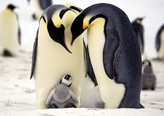 beautiful penguin photography (6)