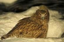 Blakuston Fish Owl. One of the largest species of Owls