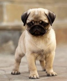 Cute Pug Puppy I don't care if people don't like this kind of dog but I absolutely love them!! I want one so bad!!