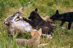 Lobo Siberiano #wolf