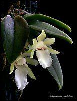 Trichocentrum candidum. A species orchid ( color)