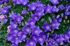 Campanula carpatica is a clump-forming perennial to 30cm, with long-stalked, rounded leaves and solitary, violet-blue or white, open-bell-shaped flowers to 3cm in width. Other common names American harebell, Carpathian harebell, Carpatian bell-flower. Height: 0.1-0.5 metres.
