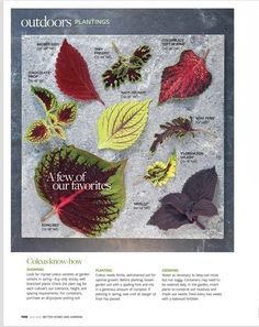 Coleus -A guide to some common species of Coleus add more in the comments if you have a favorite too!  gardening, landscaping, shade plantings,