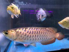 上がりの悪い過背金龍 @kuma.arowania  #arowana #peacockbass #eyespotcichlid #tucunare #cichlakelberi #astronotus #oscar #bigfish #aquarium  #aqua #aquariumfish  #fishing  #アジアアロワナ #アロワナ #キクラケルベリー #フロリダスポテッドガ #ピーコックバス #レッドベリーオスカー #古代魚 #熱帯魚 #混泳水槽 #アロワナの居る家
