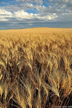 Shot near Cabri, Saskatchewan, an hour or so before sunset. Cabri is a small town about a 45 minute drive northwest of Swift Current. O Canada, Canada Travel, Rocky Mountains, Canadian Prairies, Saskatchewan Canada, Fields Of Gold, Wheat Fields, Before Sunset, All Nature