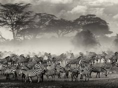 Zebra Picture -- Animal Photo -- National Geographic Photo of the Day