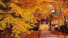 京都 光明寺 薬医門 紅葉 Japan,Kyoto,Komyo-ji Temple,autumn leaves,colored leaves