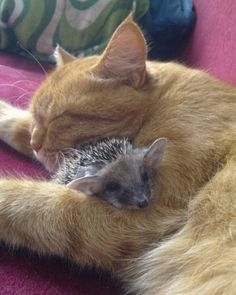 Ginger cat mama adopts Baby Hedgehogs