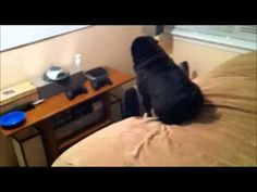 A Pug Dog Who Hates Iphones - Hilarious