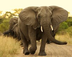 South Africa Parks...you've never been chased til you have been chased by one of these big guys!