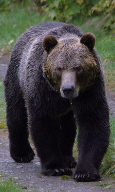 A Grizzly Bear at Knight Inlet Lodge, British Columbia.