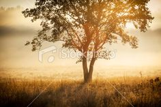 Lonely Tree against the Sunlight during Colorful Foggy Sunrise. Royalty Free Stock Photo