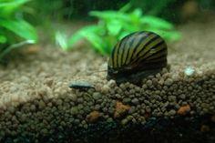 9 Best Algae Eaters For Freshwater Aquariums Clubfauna Aquarium Algae Freshwater Aquarium Small Fish Tanks