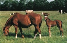 ISTABRAQ as a baby with mom Betty's Secret (by Secretariat) SECRETARIAT'S HEART: THE STORY OF ISTABRAQ | THE VAULT: Horse racing past and present