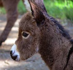 baby miniature donkey - Bing Images