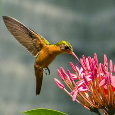 ❤ HUMMING BIRD ❦