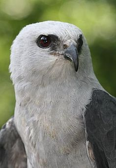 Mississippi kite (Ictinia mississippiensis) is a small bird of prey in the family Accipitridae. It is 12 to 15 inches beak to tail and has a wingspan averaging 3 feet