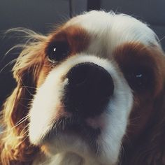 hellllo. Cavalier King Charles spaniels are love with ears!
