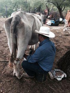 Ordeńando vacas en Durango mexico