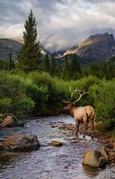 Elk at Rocky Mountain National Park in Colorado