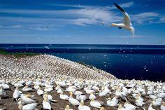 Bonaventure Island National Park birds | Photo of hundreds of birds sitting on a beach