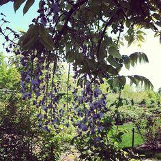 #brooklyn #brooklynbotanicalgarden #garden #bloom #flower #floral #instabloom #mytravelgram #newyork #newyorkcity #cool #purple #wisteria #summer