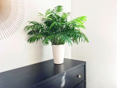 Parlor Palm Care - Indoor Plant Center Large Indoor Plants, Indoor Palms, Palm Plants, Potted Plants, Shade Plants, Hanging Plants, Hydroponic Gardening, Hydroponics, Indoor Gardening