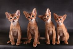 Abyssinian Kittens - 15 Pictures