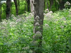 Eupatorium purpureum (Sweet Joe Pye Weed) butterfly native, woodland, 3-10 feet high