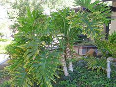 Philodendron - Philodendron bipinnatifidum-Araceae
