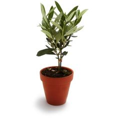 Olive Tree | Sur La Table | $20